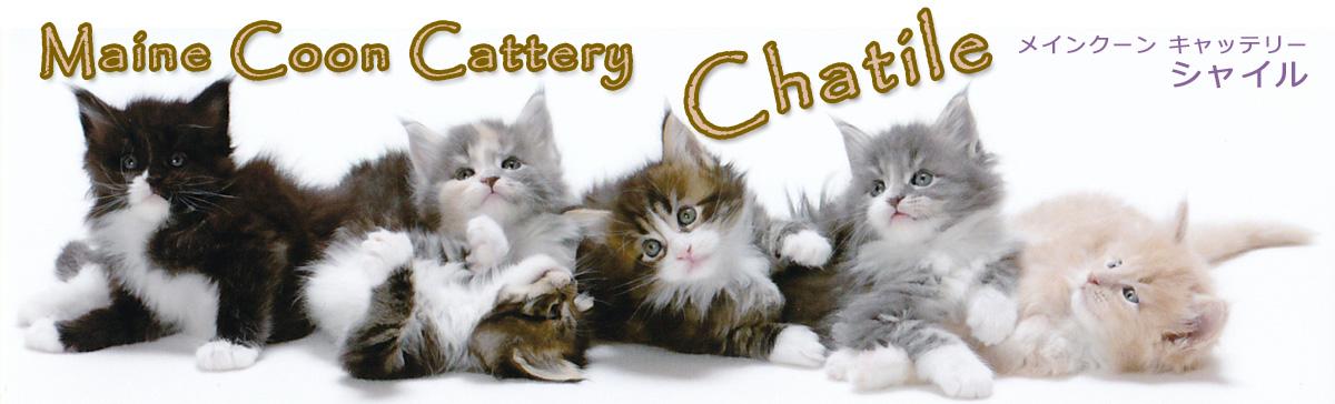 メインクーン・キャッテリー・シャイル / Maine Coon Cattery Chatile