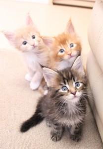 シャイルの仔猫たち